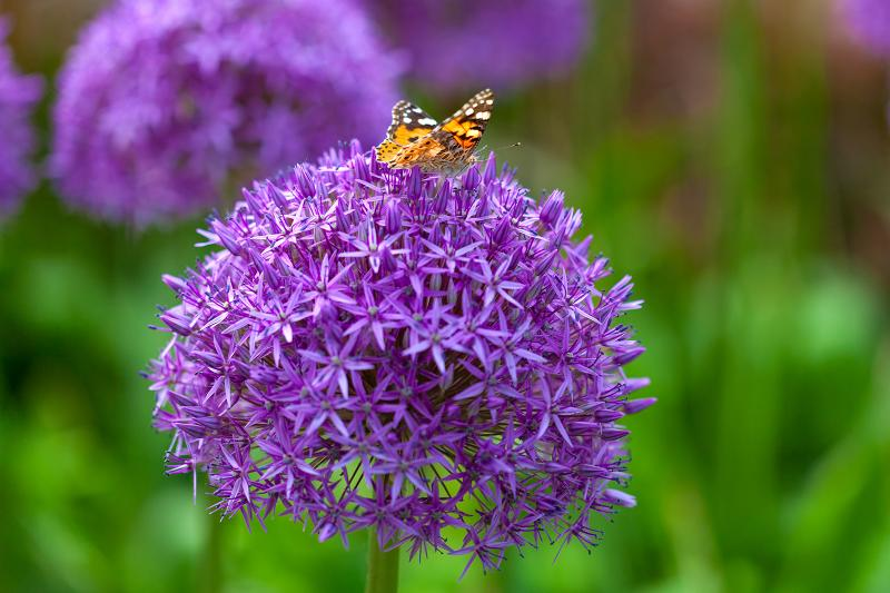 butterfly on the purple flower