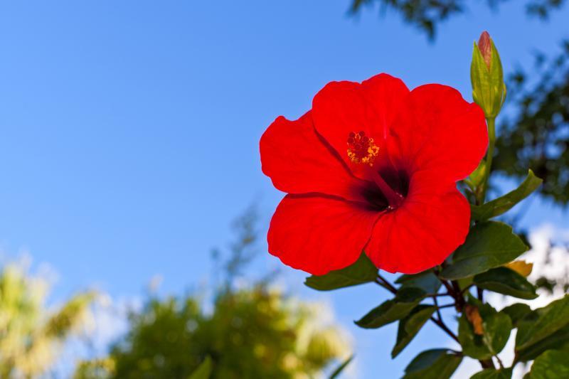 chinese rose