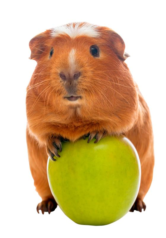 guinea-pig-and-green-apple
