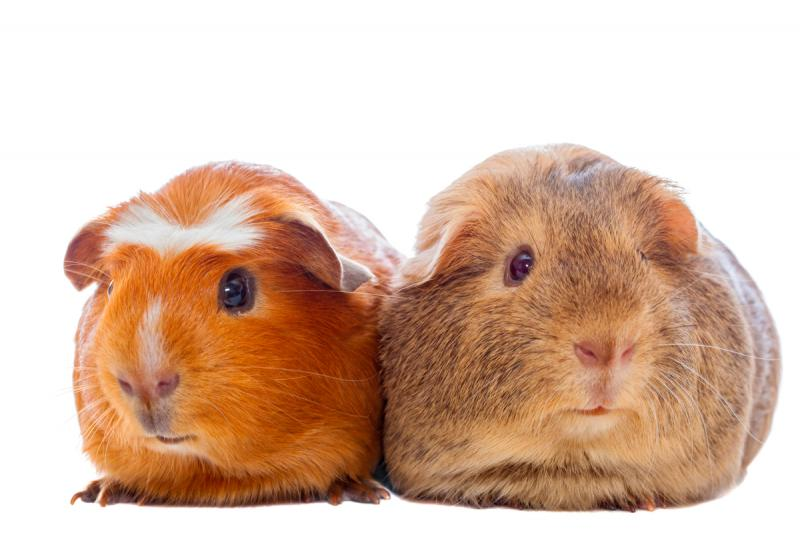 two-guinea-pigs-isolated